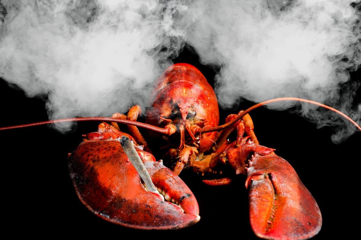 美国餐厅给龙虾吸大麻 以减轻被烹饪的痛苦