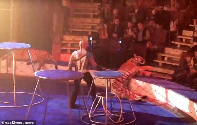 老虎表演时昏厥 被泼凉水抓尾拖拽! - 周公乐 - xinhua8848 的博客