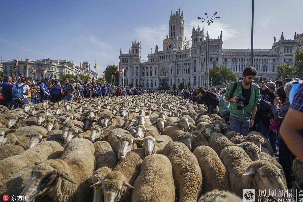 """马德里""""放牧节"""" 数千只绵羊逛大街"""