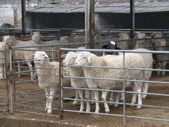 养羊致富喜洋洋——临泉县