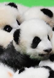 """成都23只大熊猫幼仔首秀""""熊猫瘫"""""""