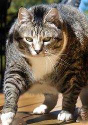 美胖猫重达14公斤成重量级网红