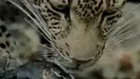 实拍母豹逼蟒蛇吐出被吃掉幼仔 自己又吃掉幼仔尸体