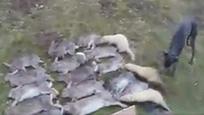 白貂和猎犬合力捕捉成群野兔
