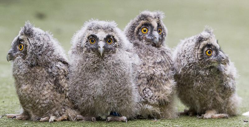英稀有猫头鹰四胞胎