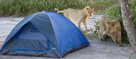 实拍情侣野外露营 醒来发现狮子在舔帐篷