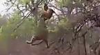 老虎遭猴子频挑衅 狂怒爬树报仇结果悲剧了