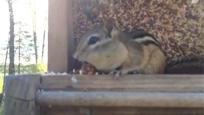 贪吃松鼠偷鸟食 被发现后举动让人笑尿