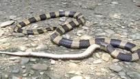 实拍两条剧毒金环蛇为夺食大打出手