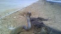 实拍渔民网到巨型眼镜王蛇 之前的捕到的鱼都没了