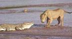 饥饿的鳄鱼遇上饥饿的狮子 场面血腥