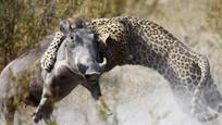 凶悍的疣猪遇上猎豹 为活命它这样回应