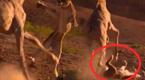 狮子猎食长颈鹿 不料反遭对手活活踢死