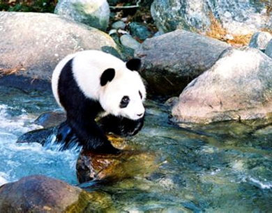 佛坪秦岭大熊猫旅游节今日开幕