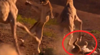 狮子猎食长颈鹿:不料反遭对手活活踢死