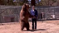 实拍男子豁出命与棕熊拍照 结果遭巨熊扑倒撕咬