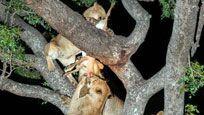 花豹与3头狮子抢食 结局一幕匪夷所思