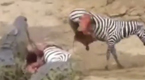 残忍一幕:斑马肚皮被鳄鱼扯破拖着内脏逃跑