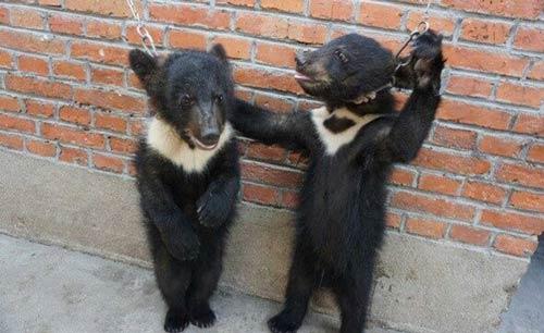 苏州一马戏团虐待黑熊 口鼻刺金属环