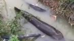 实拍暴雨后水沟里挤满大鱼 男子兴奋骑鱼背