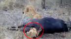 狮子捕食野牛后脑袋卡入肛门 被活活憋死
