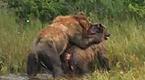 雌性棕熊遭强行交配 下一秒却被公熊残忍杀死