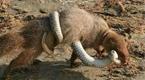 印度獴大战毒蛇 锋利牙齿一口咬断脖颈