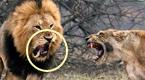 奇耻大辱!雄狮激战雌狮:居然牙都被干断了