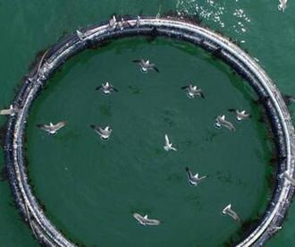 壮观!青岛大批银鸥码头抢食