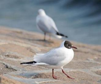 """青岛海滨现趣味一幕 海鸥头戴""""小黑帽""""盛装求偶"""