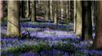 比利时树林铺满蓝铃花似紫色地毯