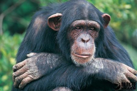 合肥野生动物园黑猩猩挺无聊 你有闲置玩具送给它们吗
