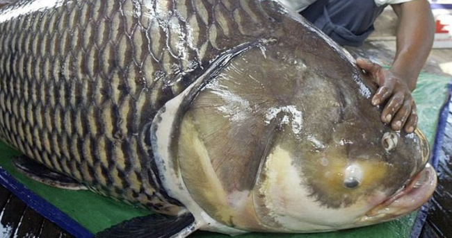 地球上3大最濒危的巨型鱼类,第一能掀翻船只