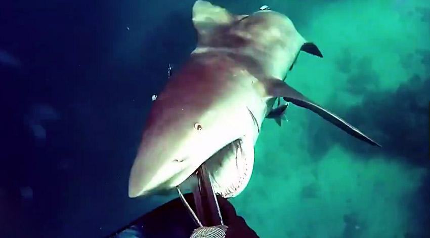 惊悚!食人鲨偷袭潜水者 男子用捕鱼枪堵其嘴逃命