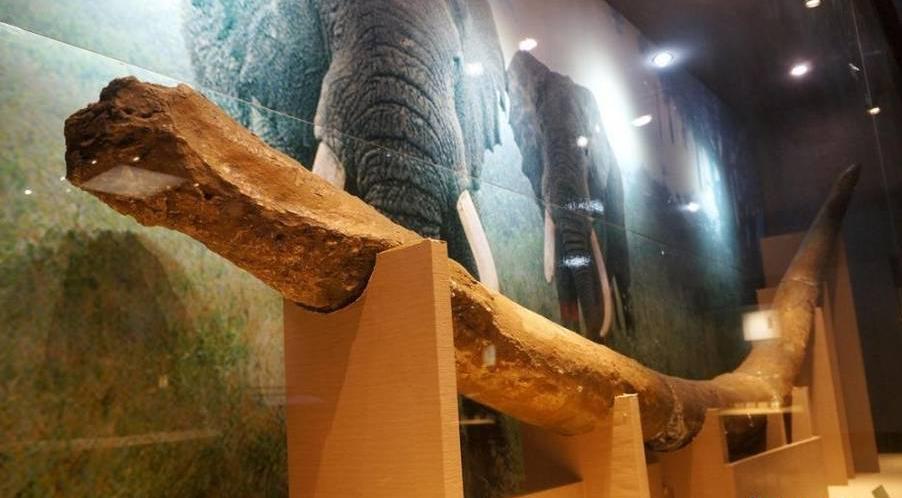 安徽一博物馆展出5万年前象牙化石