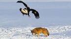 凶猛!金雕连续捕杀几只野狼 高空俯冲