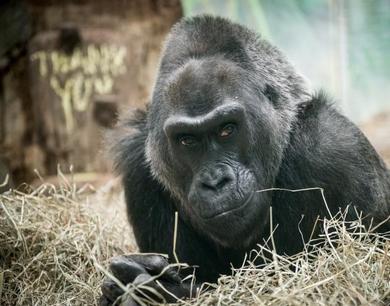 世界最年长圈养大猩猩去世 刚过完60岁生日