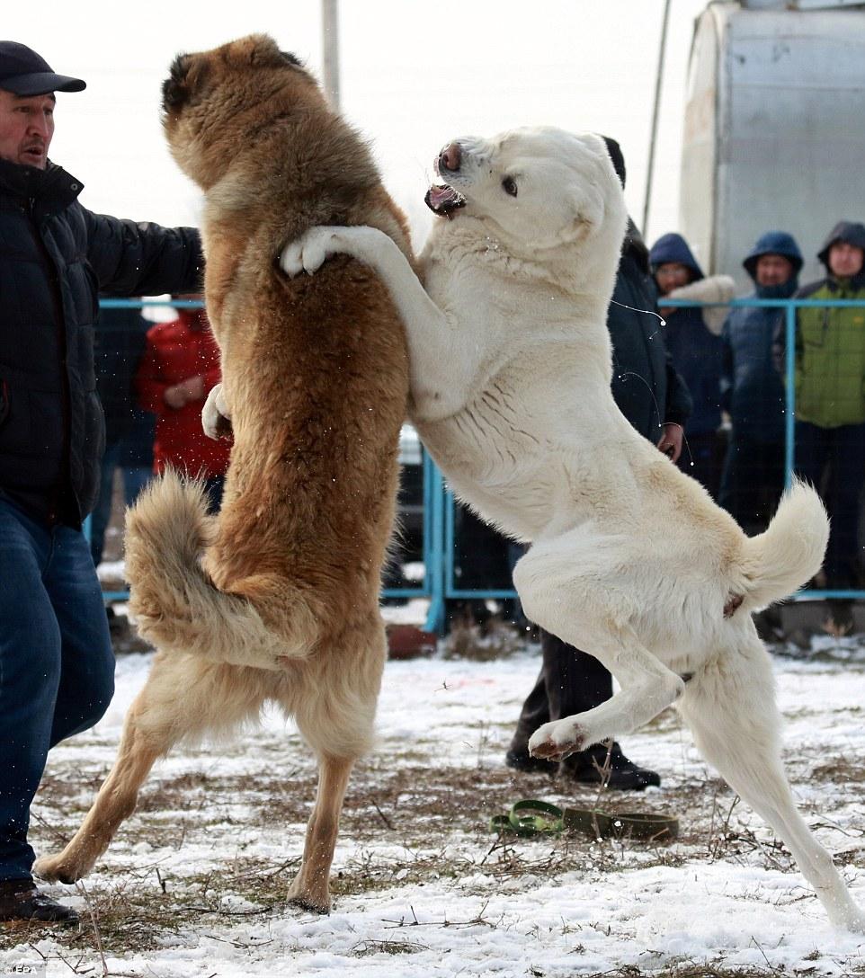 为了选出最适合交配的狗 这些人让狼狗互相撕咬