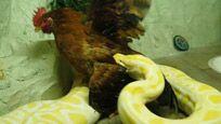 黄金蟒蛇生吞活鸡 吓得在场人说不出话来