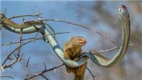 非洲树蛇与猫鼬缠斗惨败被咬死:场面惨不忍睹