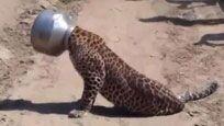 豹子喝水把头卡进罐子 下一幕让人们惊呆