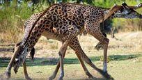 大写的尴尬!长颈鹿激情交配时腿却无处安放