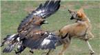 震撼!实拍金雕捕杀野狼 一番缠斗后野狼败北