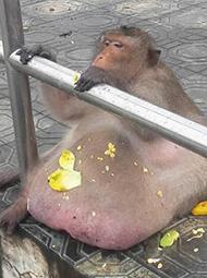 野生猴过重 被抓起来强制减肥