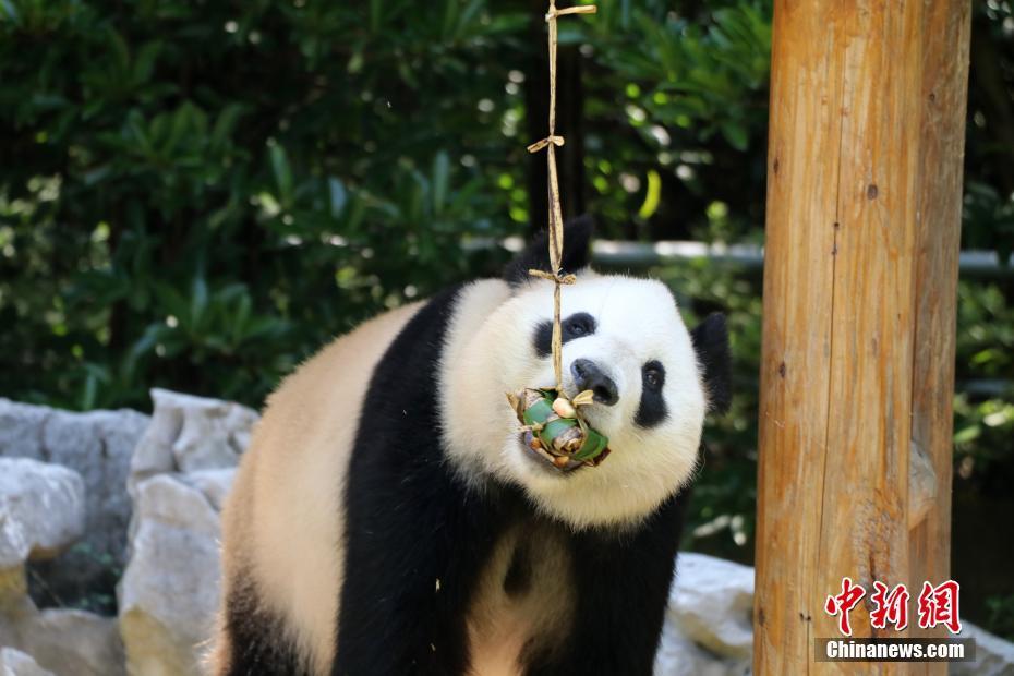 萌化了!动物园大熊猫品尝粽子迎端午