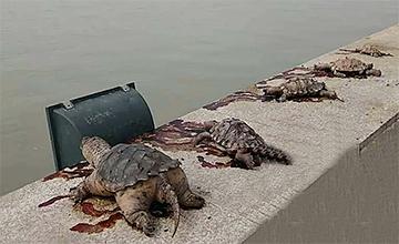 放生龟接连死亡 管理员:这是杀生