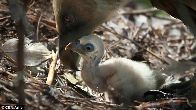荷兰:一对同性恋兀鹫领养了被遗弃的孤儿鸟蛋