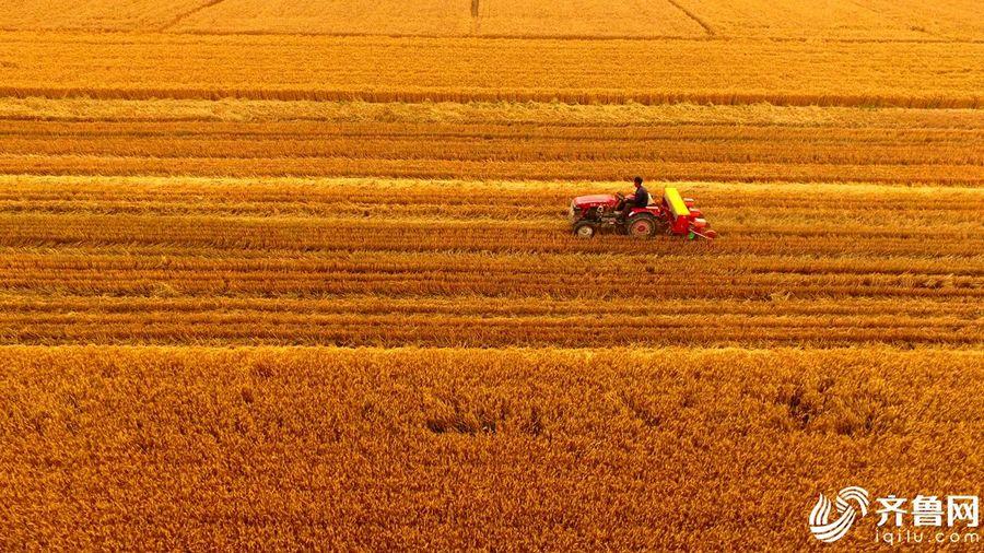 山东东营黄河三角洲小麦获丰收