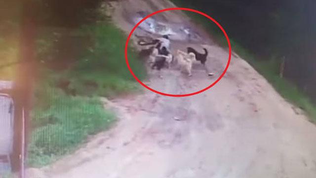 保安醉酒被12条流浪狗围攻当场咬死
