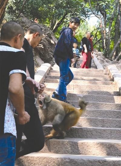 四川泸山猴子又惹祸:6旬游客被追赶惊吓